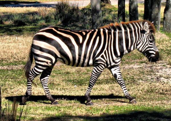 Jambo House Zebra